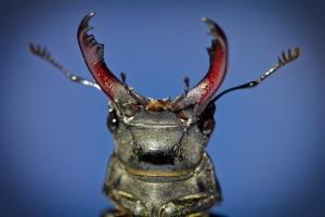 Макромир_портрет жука-оленя